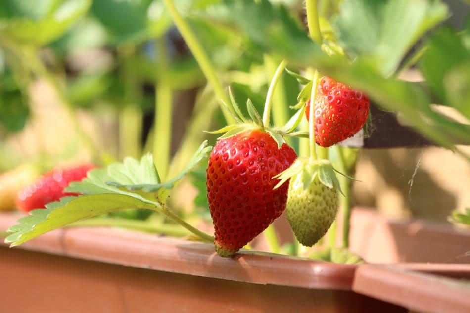 coltivare fragole passo passo