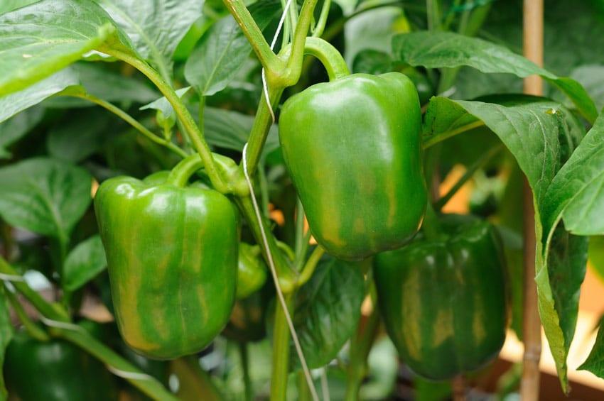 come-coltivare-peperoni